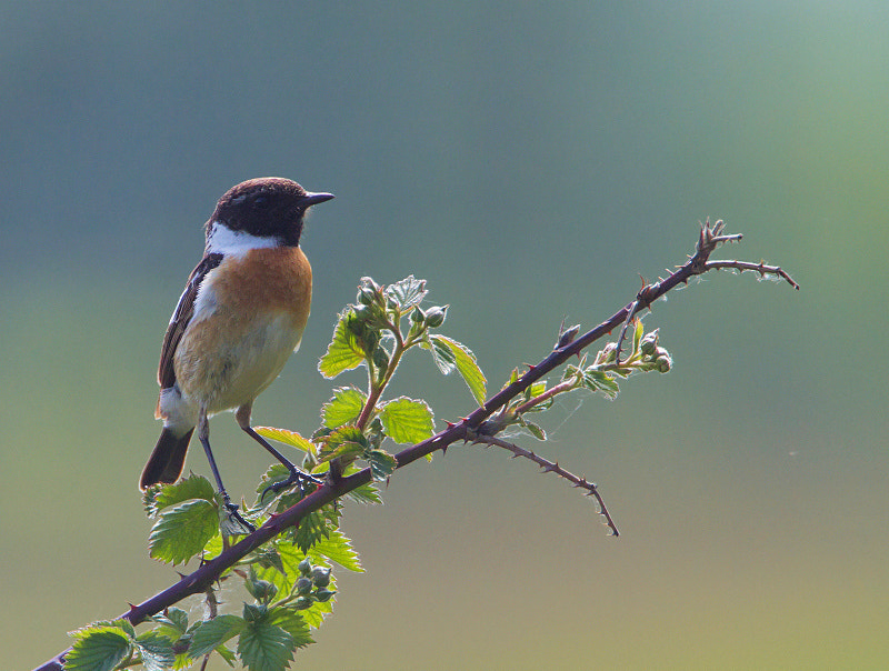 Photograph Stonechat / Roodborsttapuit by Marcel van Os on 500px