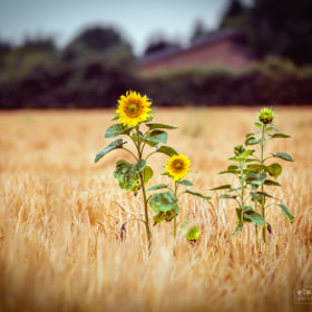 Sonneblume | Sunflower