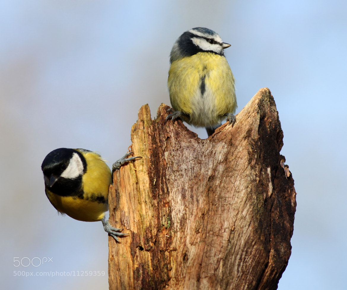 Photograph Branch of many tits by Matt Newman on 500px