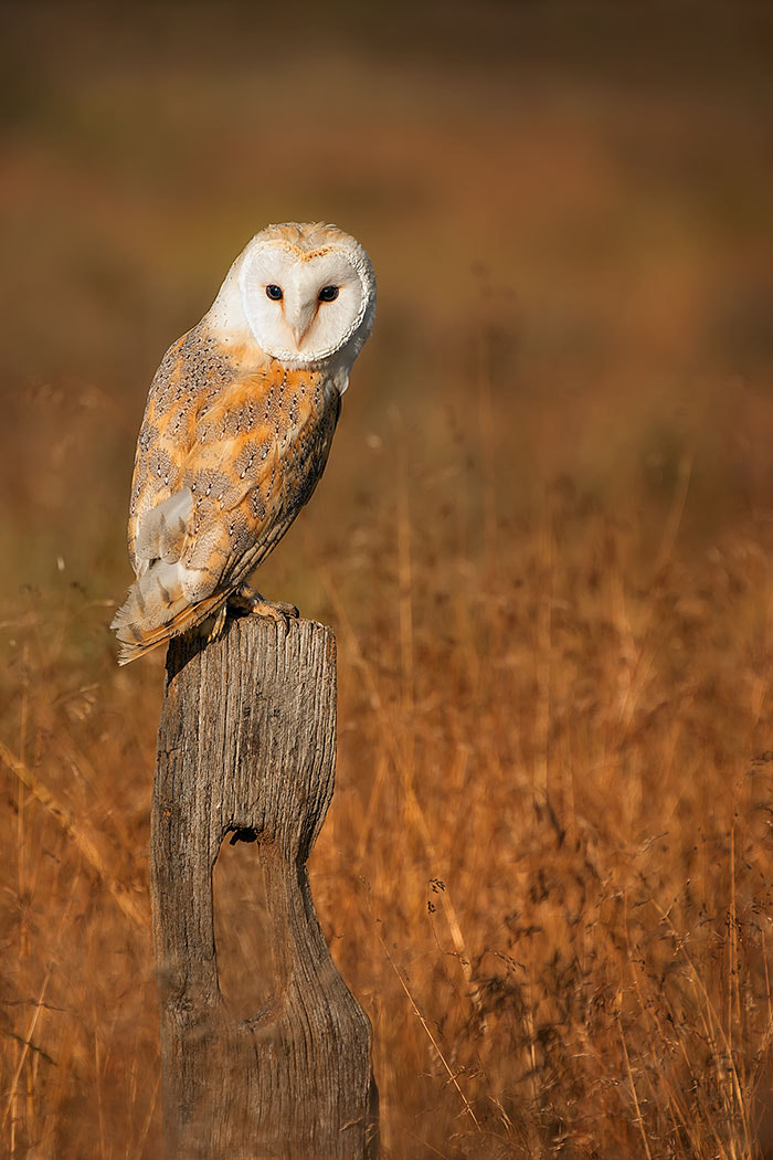 Photograph Barn Owl 2 by Mike Pearce on 500px