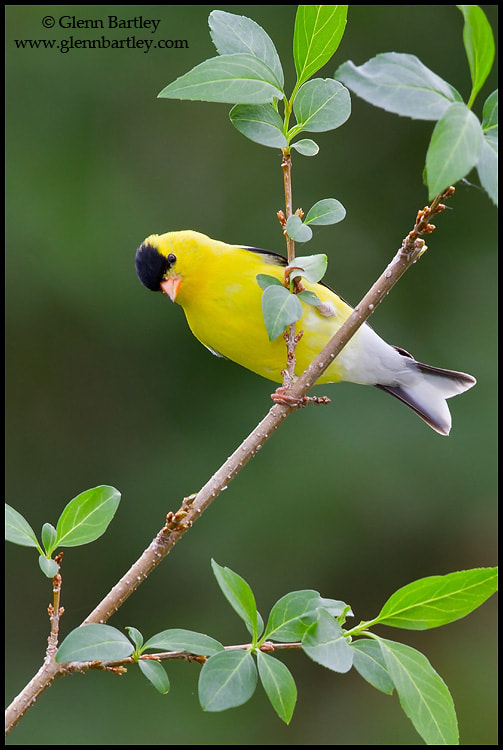Photograph American Goldfinch by Glenn Bartley on 500px