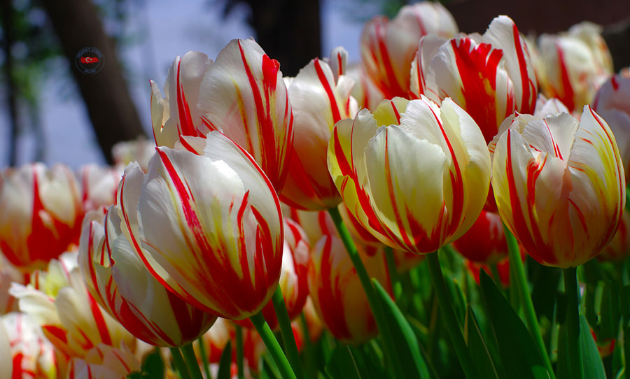 Photograph Turkish tulips. Istanbul by Mehmet Çoban on 500px