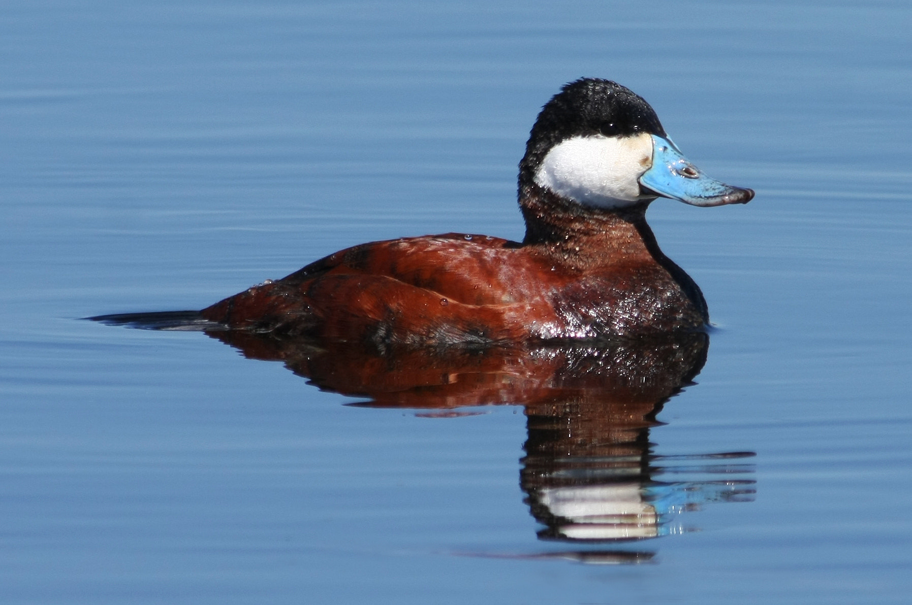 Photograph Ruddy Duck by Jayne Gulbrand on 500px