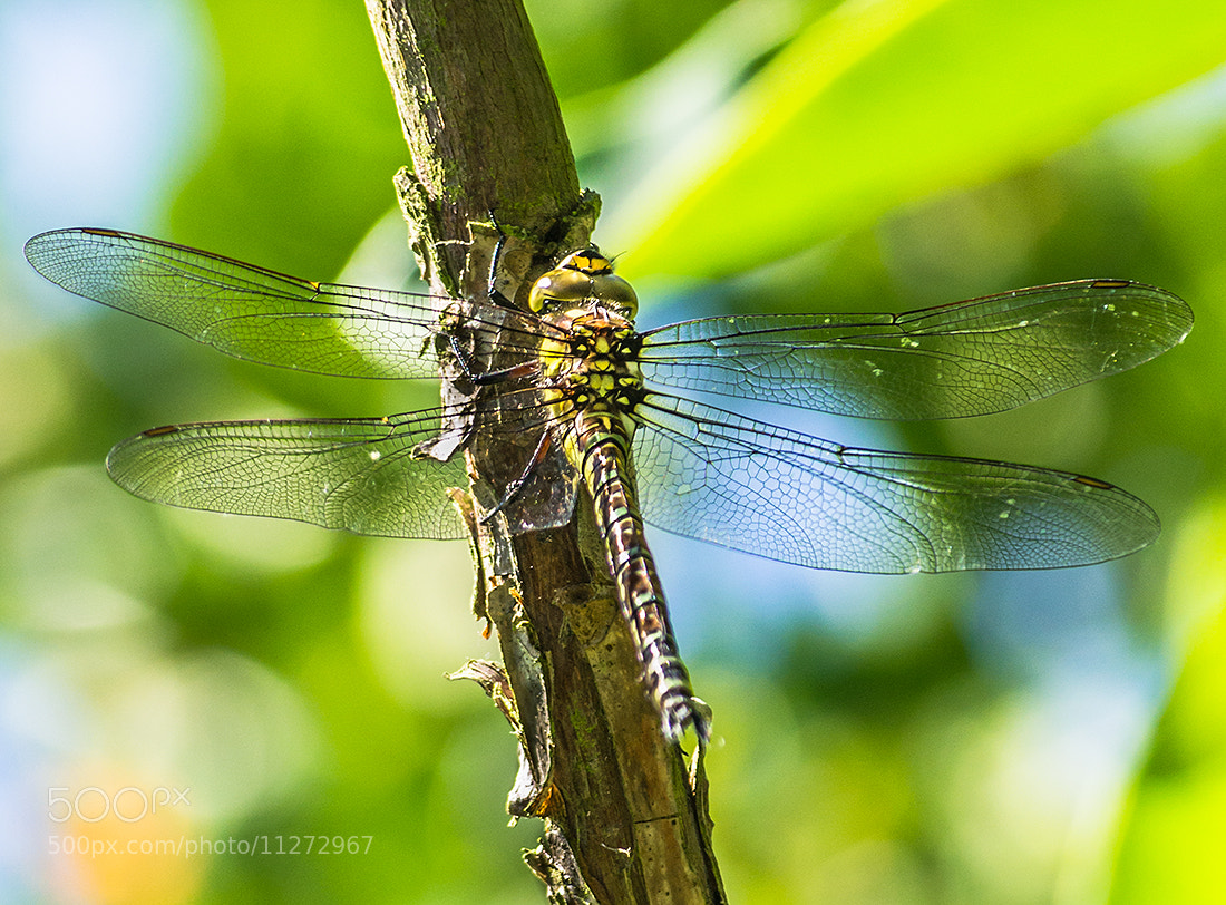 Photograph Dragonfly by Andy Butler on 500px