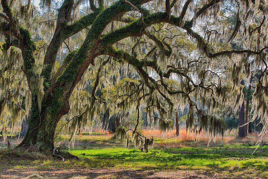 Photograph Under the Mossy Oak by Stacy White on 500px