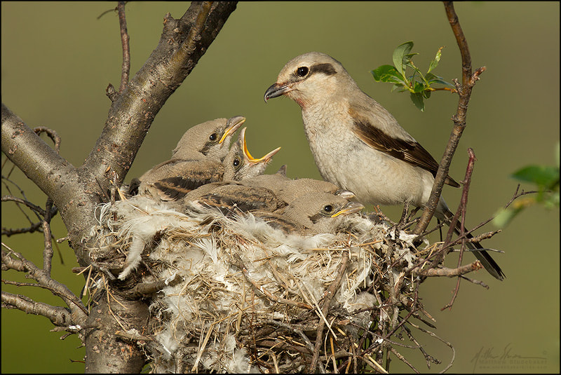 Photograph Norther Shrike at the Nest by Matthew Studebaker on 500px