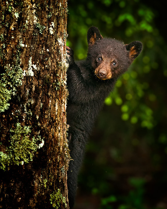 Photograph Black Bear Cub by Steve Perry on 500px
