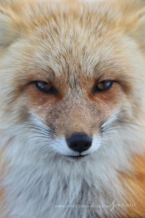Photograph Stare of a Vixen by Nate Zeman | natezeman.com on 500px
