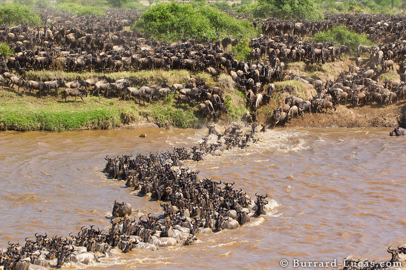 The annual wildebeest migration in the Masai Mara of Kenya and the Serengeti of Tanzania is one of the most dramatic spectacles on Earth. This photo shows thousands of wildebeest battling against the Mara River. // To see our award-winning time-lapse video of this incredible spectacle, please visit this link: http://b-l.me/migration
