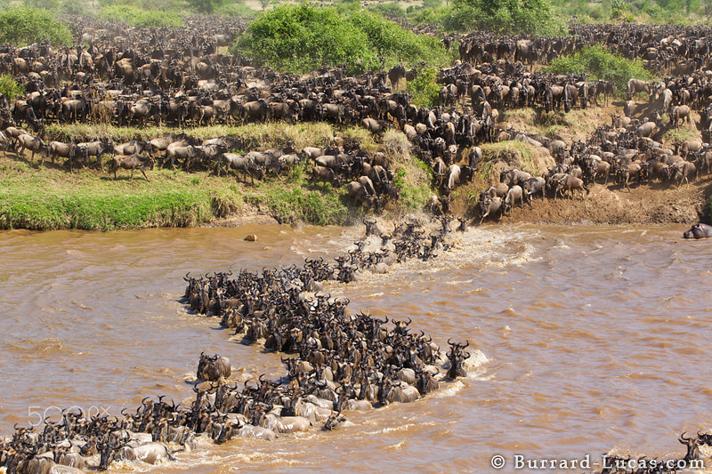 """The annual wildebeest migration in the Masai Mara of Kenya and the Serengeti of Tanzania is one of the most dramatic spectacles on Earth. This photo shows thousands of wildebeest battling against the Mara River. // To see our award-winning time-lapse video of this incredible spectacle, please visit this link: http://b-l.me/migration  - More <a href=""""http://www.burrard-lucas.com/migration/"""">Migration photos</a>"""