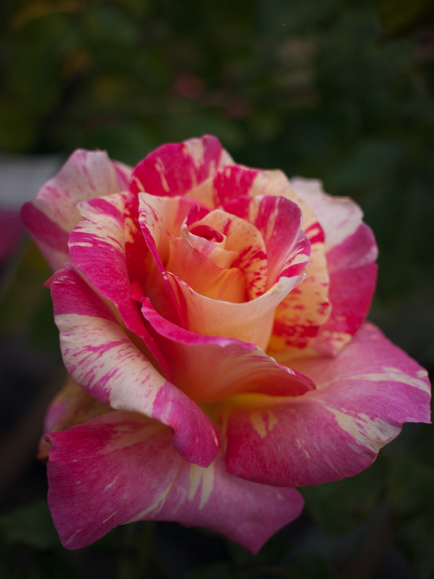 Photograph rose at nursery in Warrandyte, June 2011 by LifeSparkle on 500px