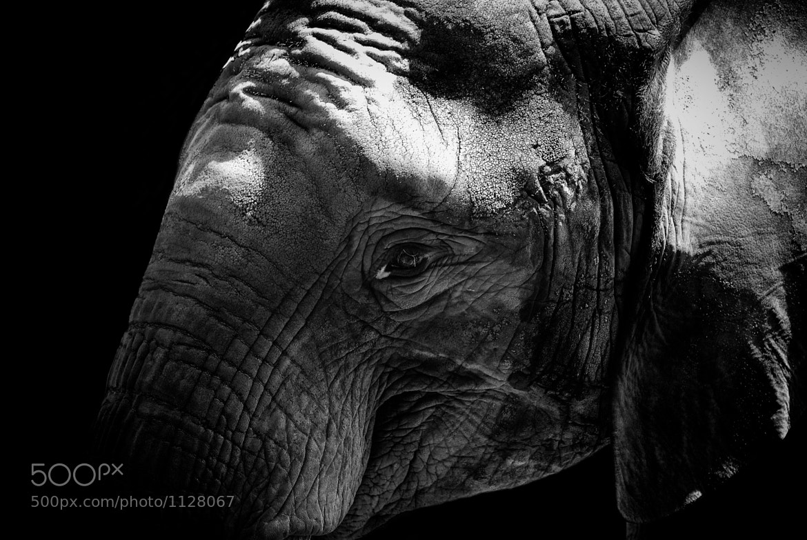 Photograph Curious Elephant Portrait by Christian Meermann on 500px
