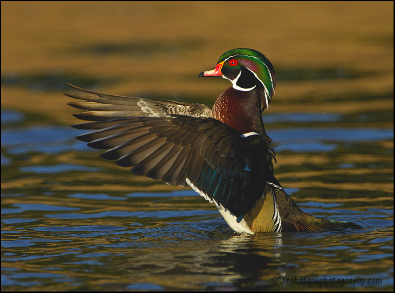 Photograph Wood Duck by Hugh Robateau on 500px