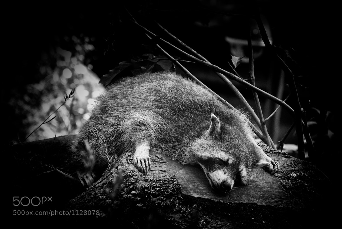 Photograph Racoon Relaxing by Christian Meermann on 500px