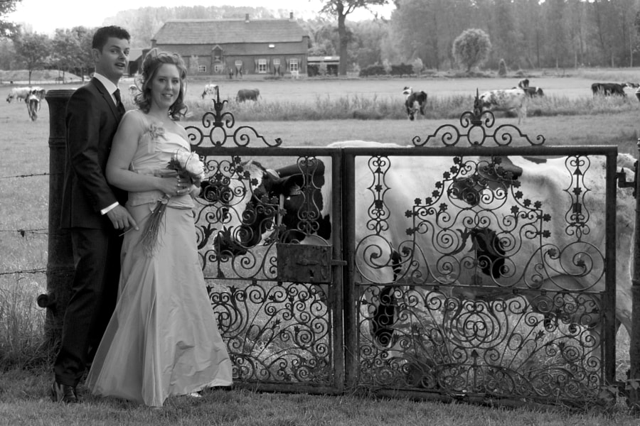 Bride and groom in front of an old fence with a cow in the background