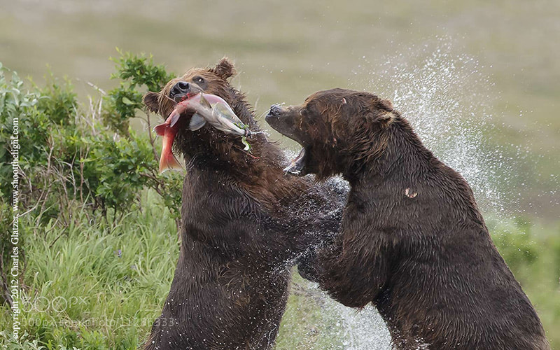 Photograph Brown bears fighting over salmon by Charles Glatzer on 500px