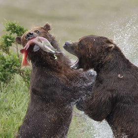 Brown bears fighting over salmon by Charles Glatzer (Chas)) on 500px.com