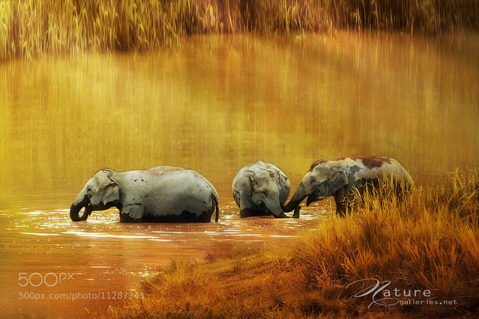 Photograph  Thai elephant #2 by Sasi - smit on 500px