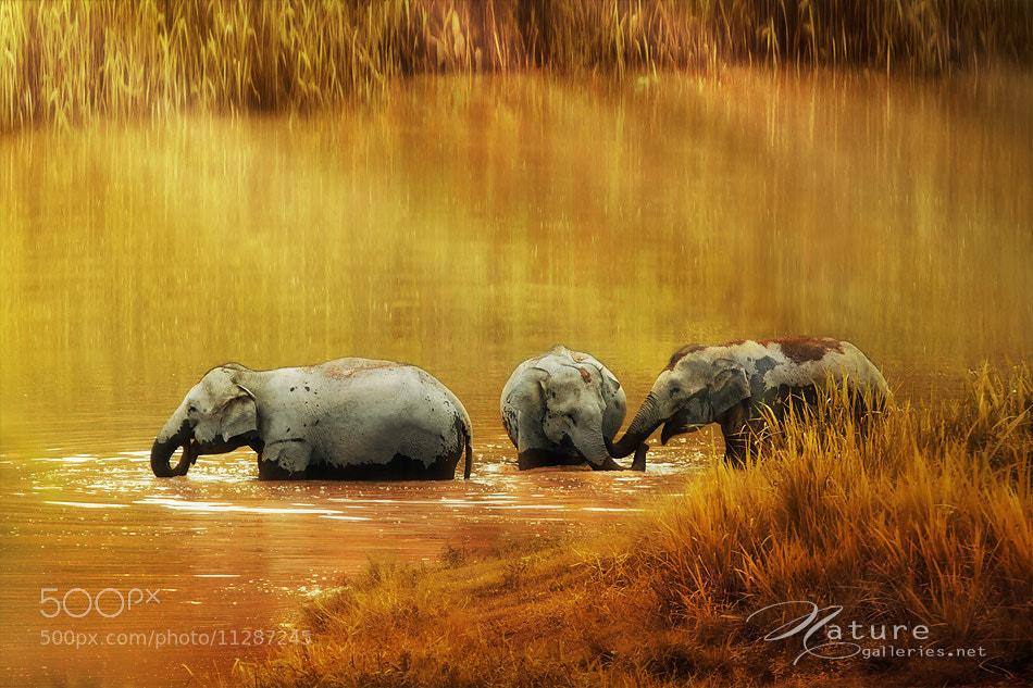 Photograph  Thai elephant #2 by Sasi - smit on 500px