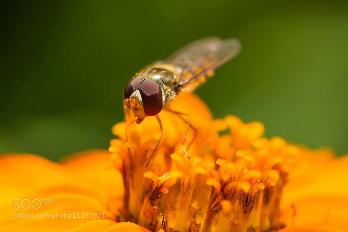 Photograph Hoverfly on flower by Markus _ on 500px