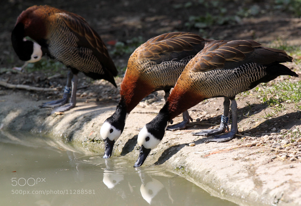 Photograph White-faced whistling ducks by Rainer Leiss on 500px