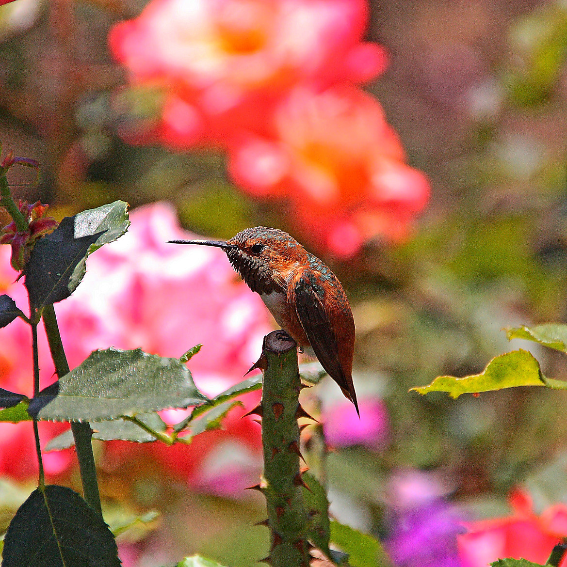 Photograph Slouching Hummingbird by Teresa M on 500px