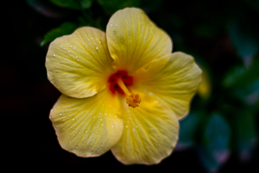 Photograph Yellow Shoe Flower by Swaminathan iyer on 500px