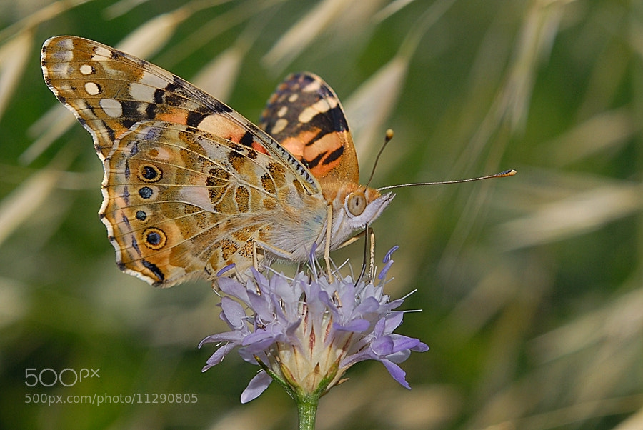 Photograph Vanessa cardui by ilker kursun on 500px