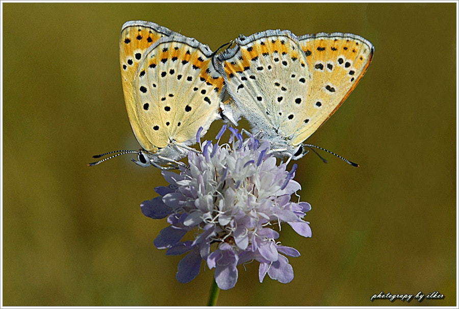 Photograph  Lycaena thersamon by ilker kursun on 500px