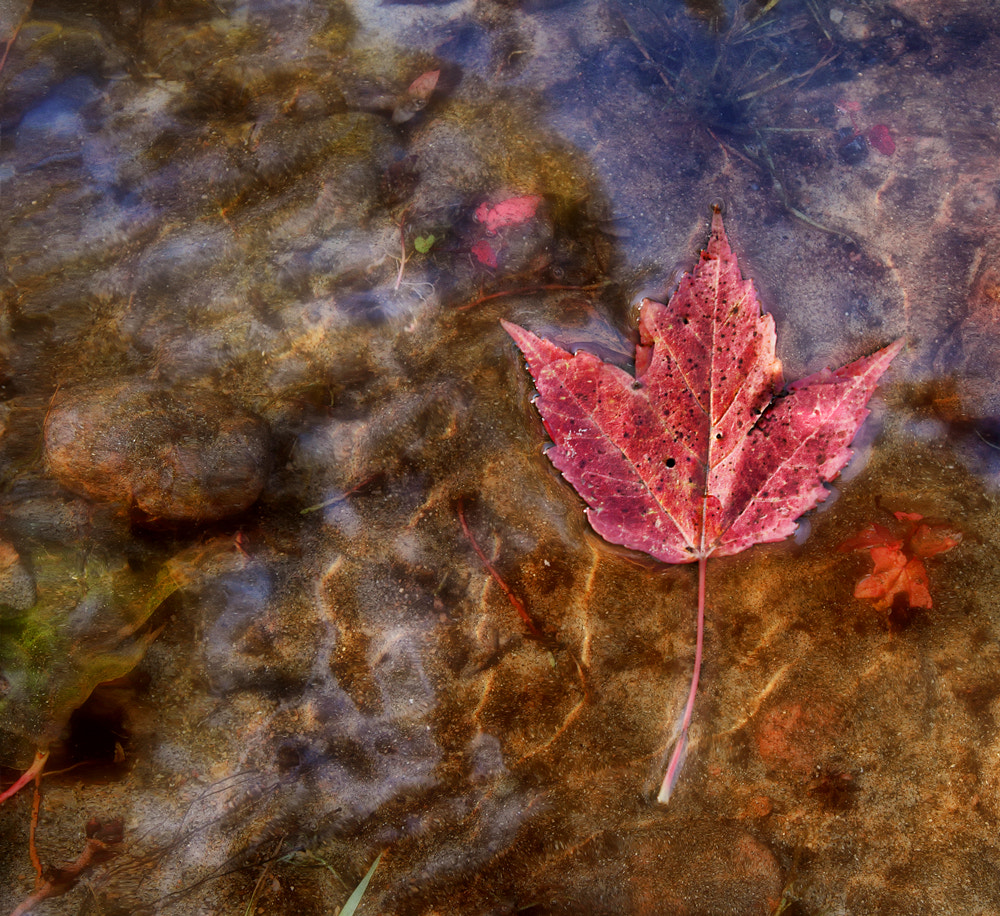 Photograph Maple Leaf by Lisa Solonynko on 500px