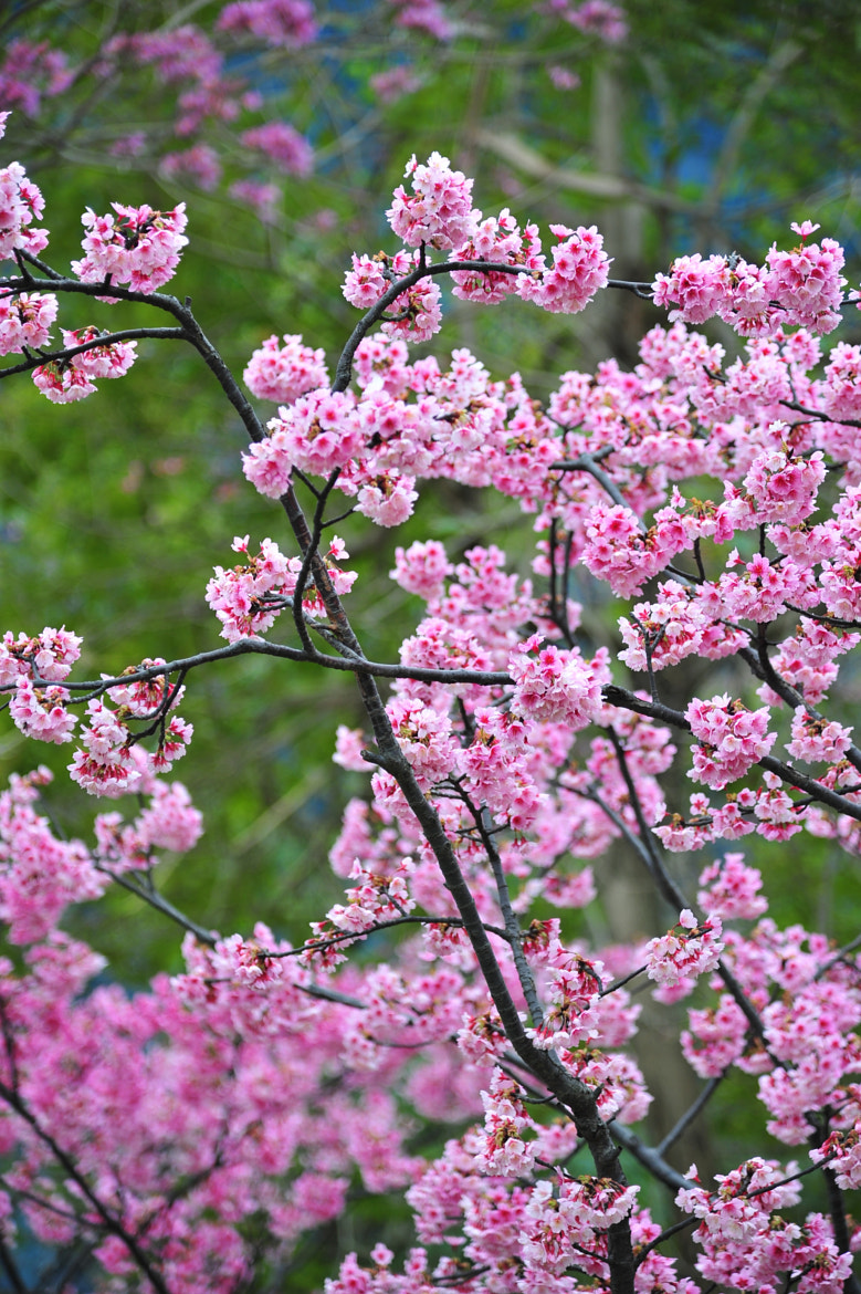 Photograph Cherry Blossoms by Han-wen Lin on 500px