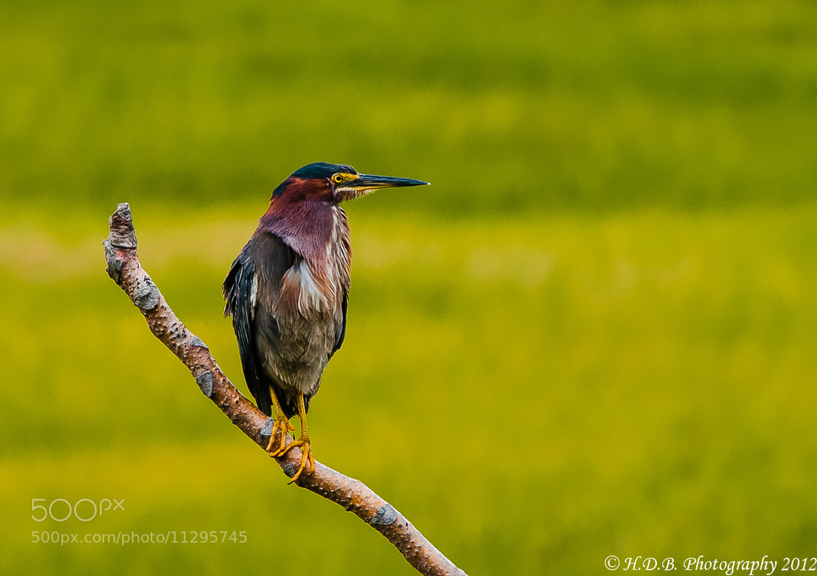 Photograph Green Heron by Harold Begun on 500px