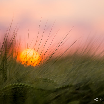 Sunset through a wheat field
