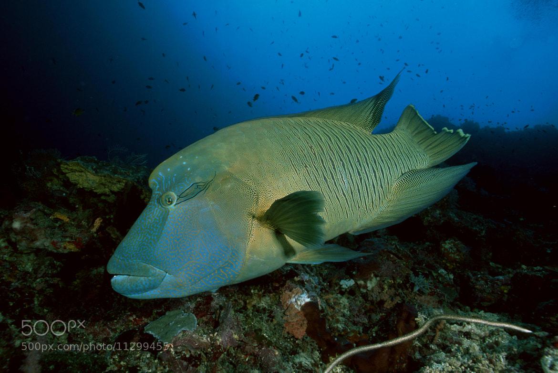 Photograph Napoleon Fish by Luigi Sanna on 500px
