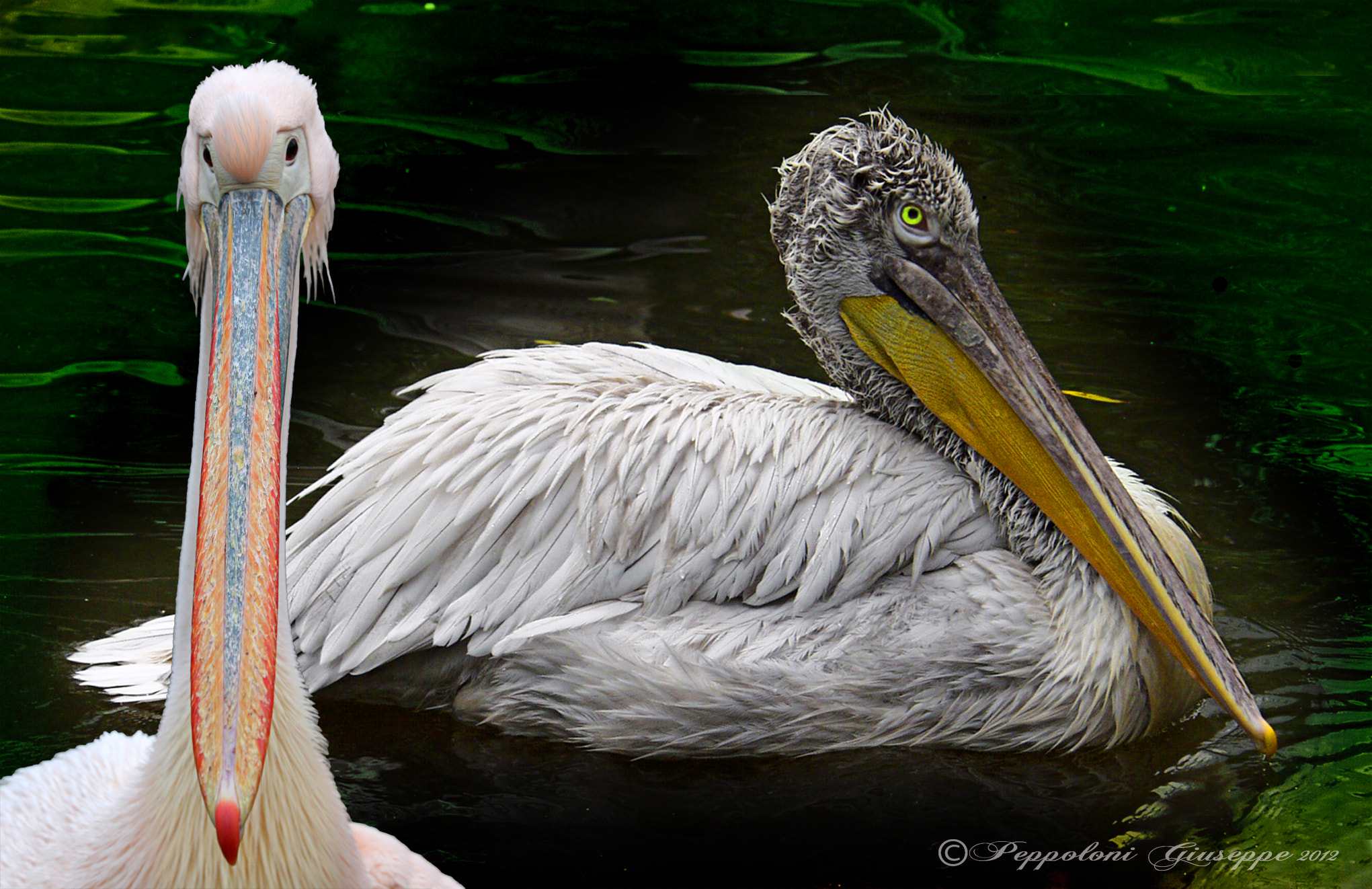 Photograph The pelicans by Giuseppe  Peppoloni on 500px
