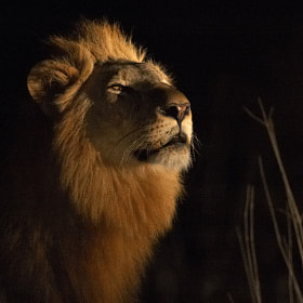 Male Lion by Johan Elzenga (JohanElzenga)) on 500px.com