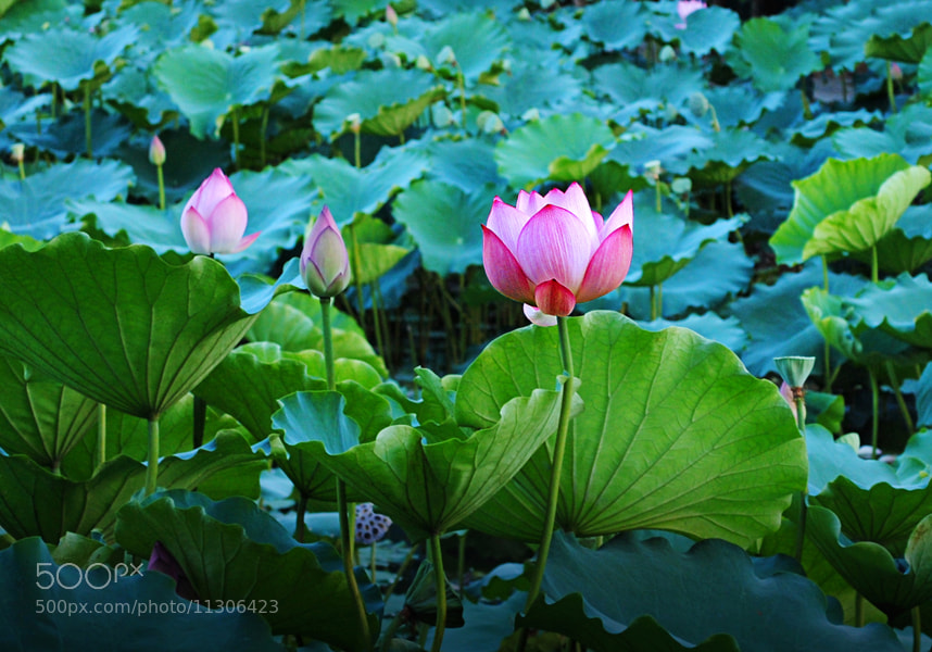 Photograph lotus by Leo Shaw on 500px