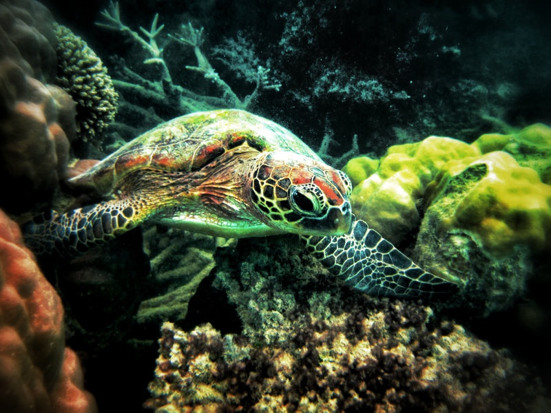 Photograph Turtle in Great Barrier Reef by Sabrina Krumbæk  on 500px