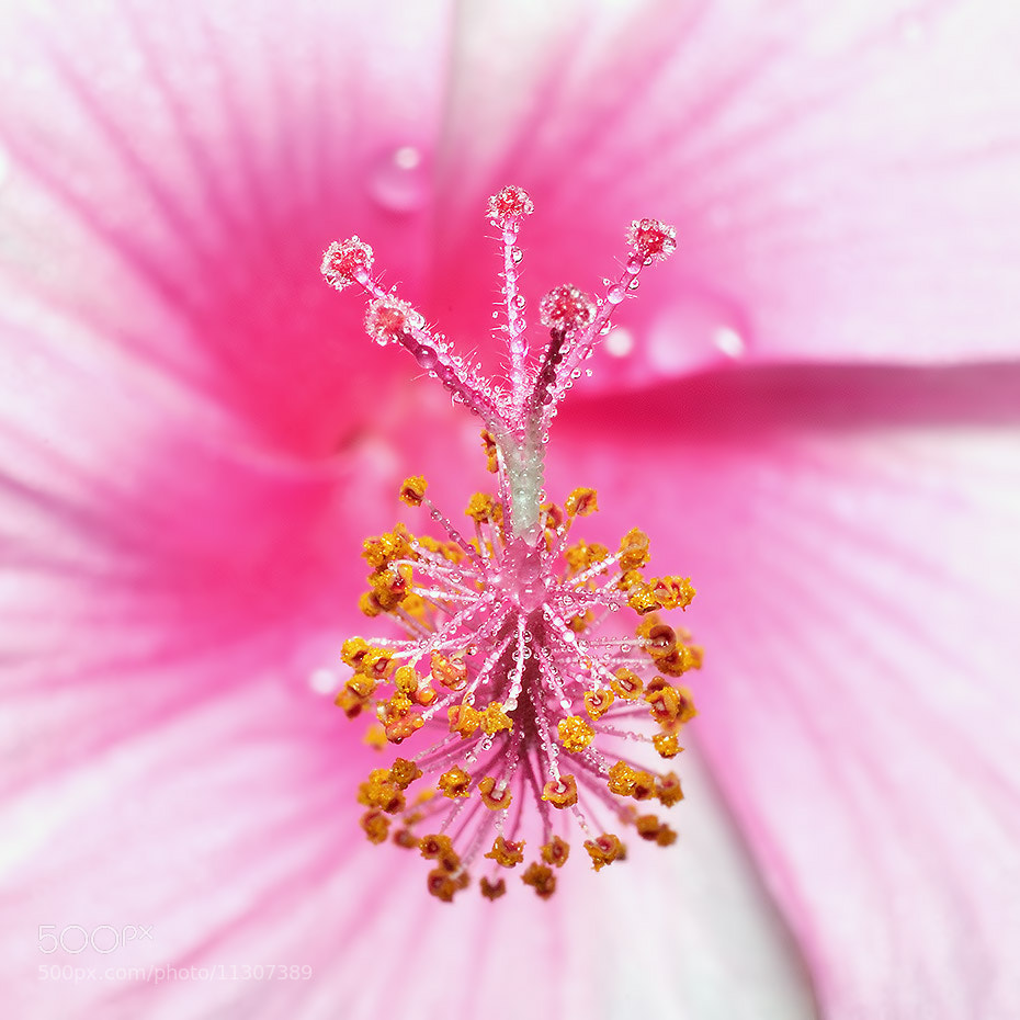 Photograph Pink flower. by Chanwoot Boonsuya on 500px