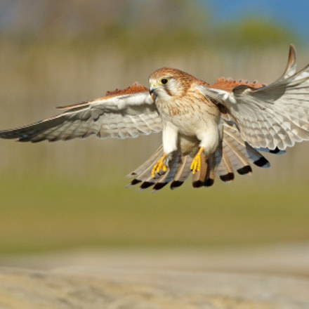 Nankeen Kestrel female