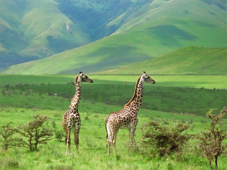 Giraffes by Tom K on 500px.com