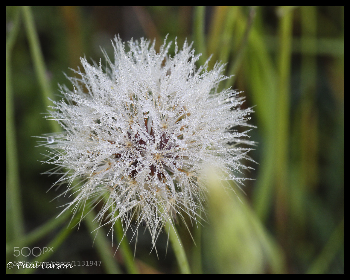 Photograph Dandelion Dew by P. Larson Photography on 500px