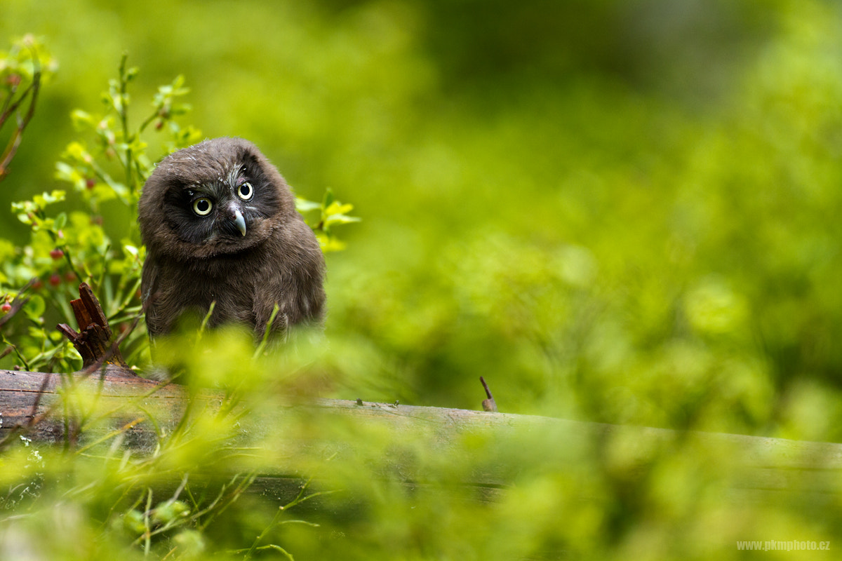 Photograph Boreal Owl by Peter Krejzl on 500px