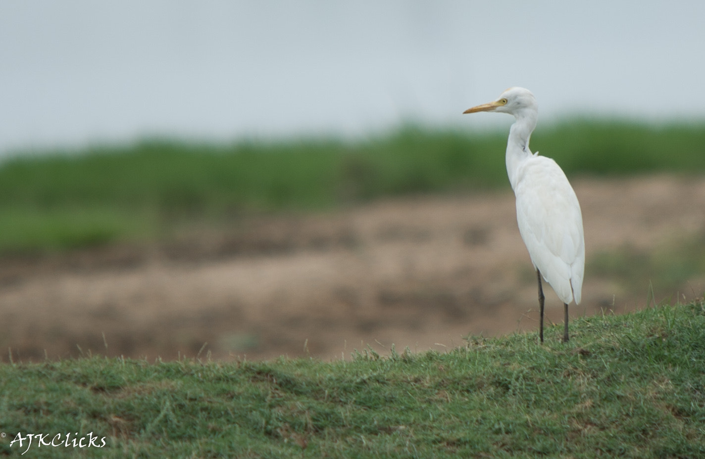 Photograph Cattle Egret by AJK Clicks on 500px