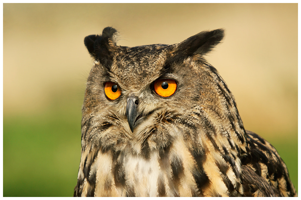 Photograph Eagle owl (c) by Geoffrey Baker on 500px
