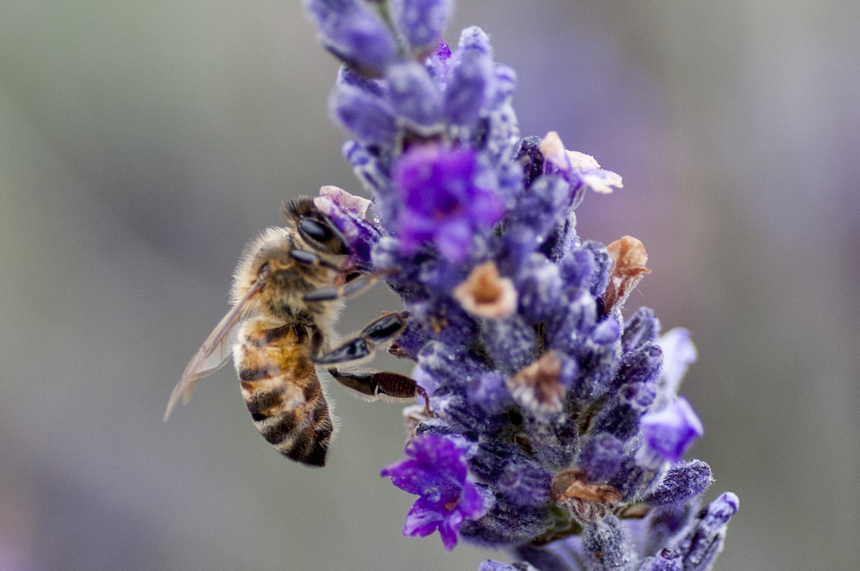 Photograph An eye for lavender by Alex Sharp on 500px
