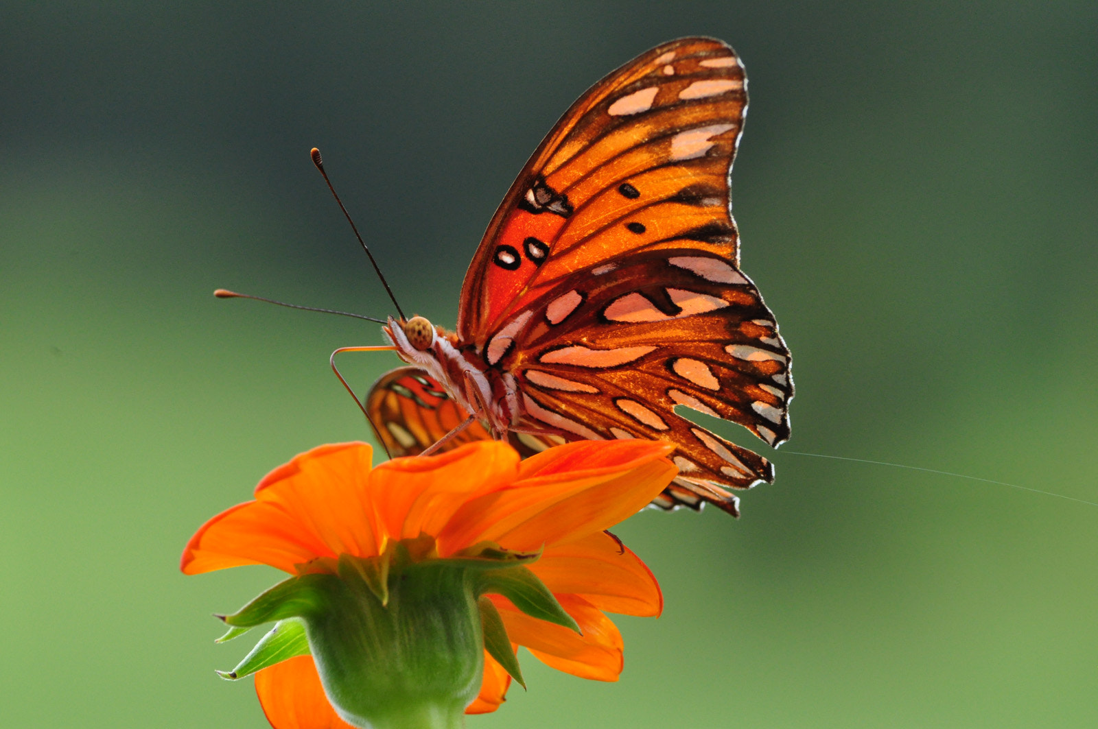 Photograph Gulf Fritillary Butterfly by Suzanne Williams on 500px