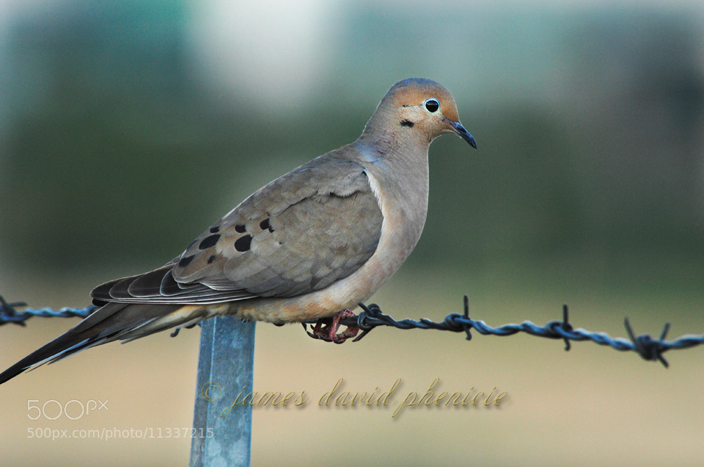 Photograph Perching on a Barbed Wire by James David Phenicie on 500px