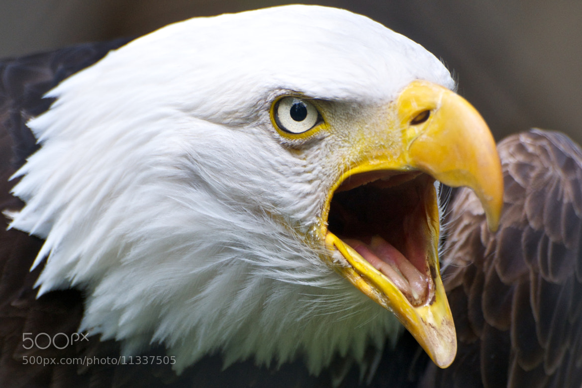 Photograph Screaming Eagle by Matthew Tiegs on 500px