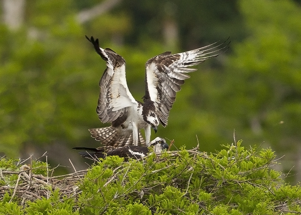 Photograph Osprey at nest by William Potter on 500px